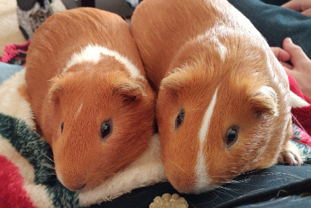 A couple of cuy guinea pigs